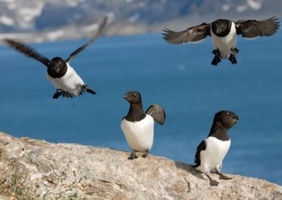Little Auk, North Spitsbergen © Rinie van Meurs-Oceanwide Expeditions (2)