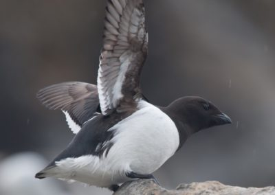 Little Auk, Spitsbergen © Erwin Vermeulen-Oceanwide Expeditions
