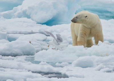North Spitsbergen Polar Bear Special, June © Markus Eichenberger-Oceanwide Expeditions (27)