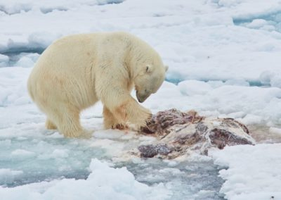 North Spitsbergen Polar Bear Special, June © Markus Eichenberger-Oceanwide Expeditions (38)