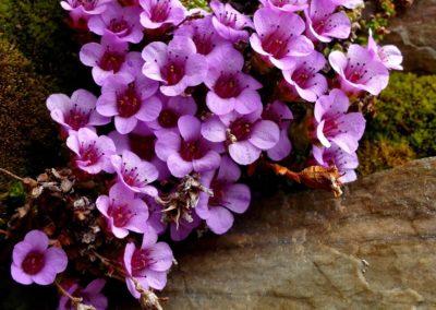 Purple saxifrage (Spitsbergen) P1010190