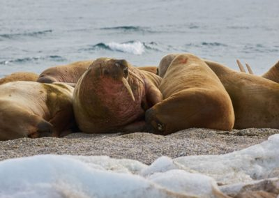 Walrus, North Spitsbergen Polar Bear Special, June © Markus Eichenberger-Oceanwide Expeditions (90)